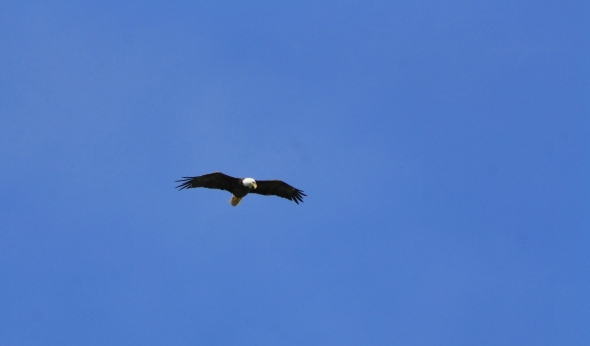 And we saw a Bald Eagle cruise the lake hunting for a few days.