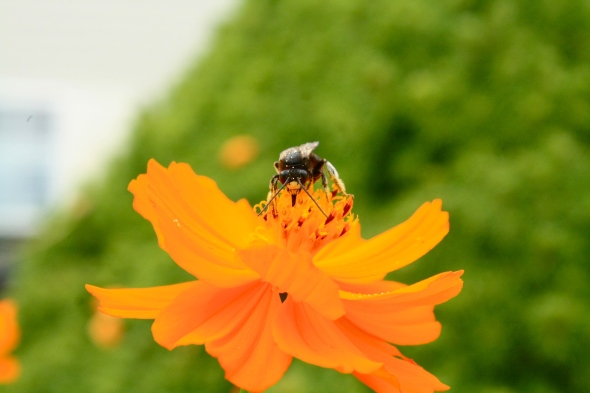 And other amazing critters like this bee in the garden.